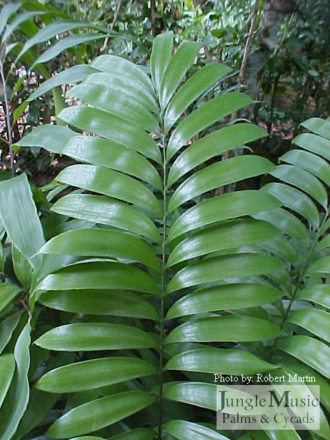 Zamia elegantissima leaves
